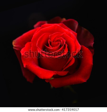 Red Rose on black background - stock photo