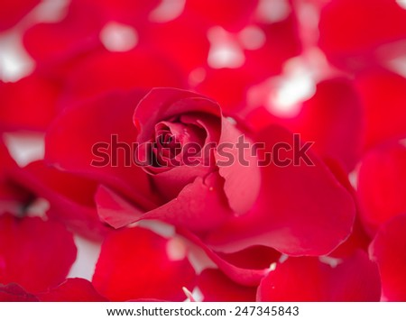 Red rose on petal background - stock photo