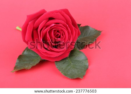 red rose on red background - stock photo