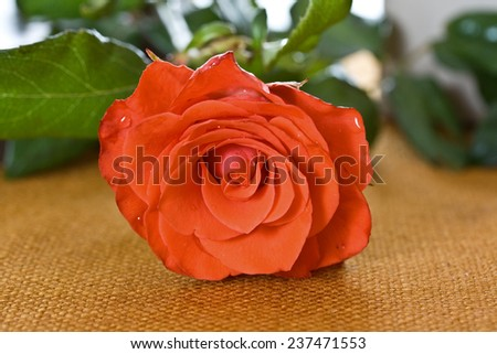 Red rose on sackcloth as background - stock photo