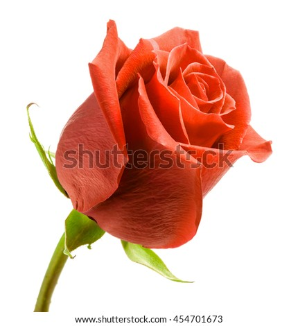 Red rose on white background - stock photo