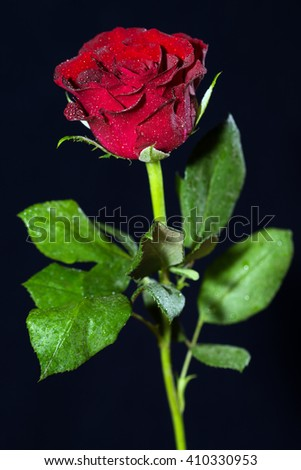 red Rose over a dark background / red rose - stock photo