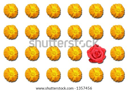 Red rose standing out on background of orange daisies - stock photo