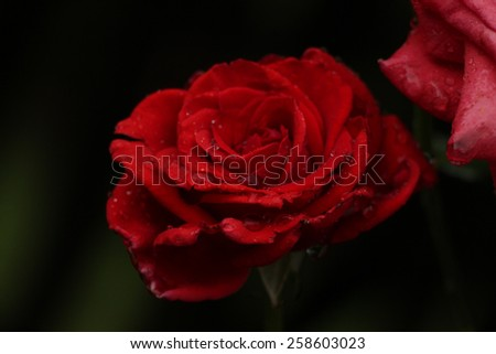 Red rose with black background. Red rose with rain drops. - stock photo
