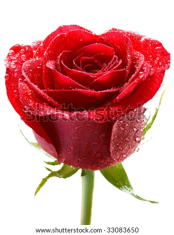 red rose with dew - stock photo