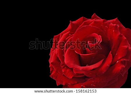 Red rose with dew drops on back background. - stock photo