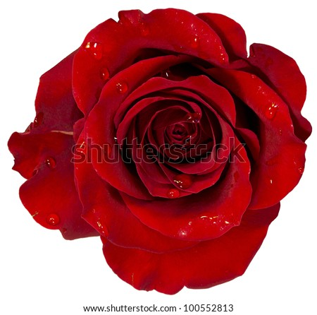 red rose with dew isolation on white - stock photo