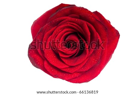 Red rose with droplets isolated on white. - stock photo