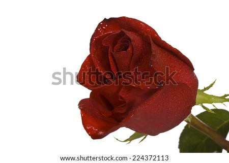 Red rose with drops of dew isolated on white background - stock photo