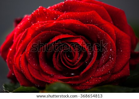 Red rose with petals, macro closeup, shallow depth of field. - stock photo
