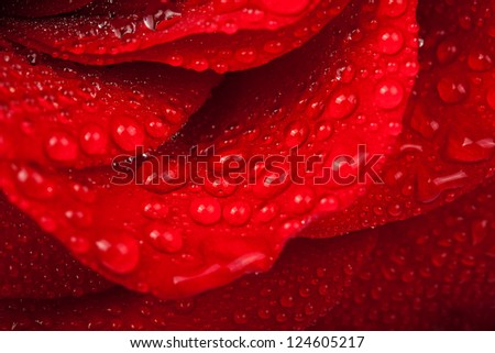 Red rose with water drop.  Soft focus - stock photo