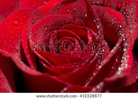 red rose with water drops / red rose - stock photo
