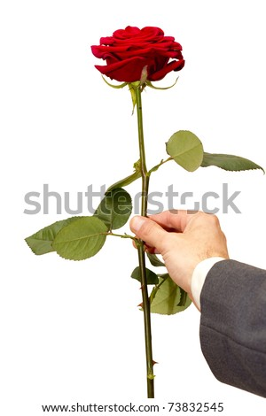red roses alive in the men's hand - stock photo