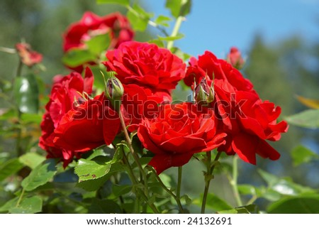 red roses bush against blue sky - stock photo