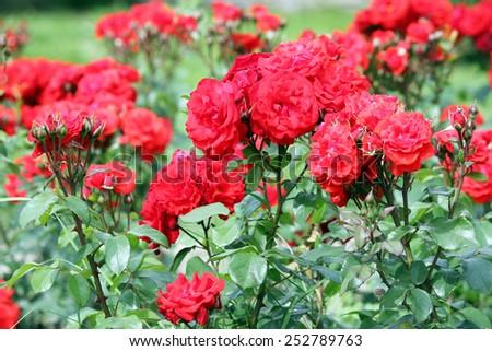 red roses flowers garden springtime - stock photo