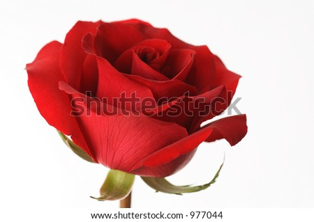 red roses for valentine - stock photo