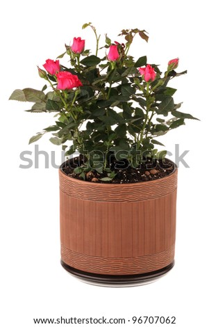 Red roses in a flower pot isolated on white background - stock photo