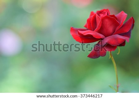 Red roses (Miss all-american beauty type) in the garden, at  Pra Tum Nak Pupink Royal park Chiangmai, Thailand 2016 - stock photo