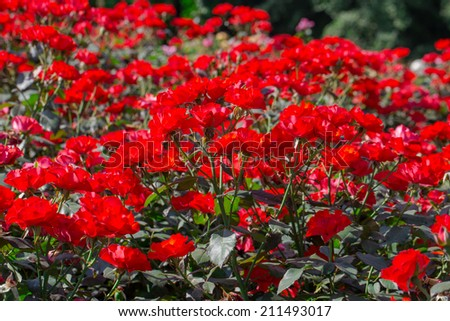 red roses on sunny sky background in the garden - stock photo