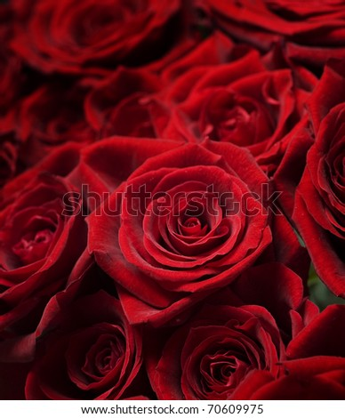 Red Roses.Selective focus - stock photo