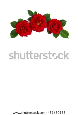 Red roses (shrub rose) on a white background with space for text - stock photo