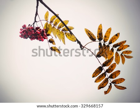 Red rowan berries and yellow brown and orange leaves in autumn - stock photo