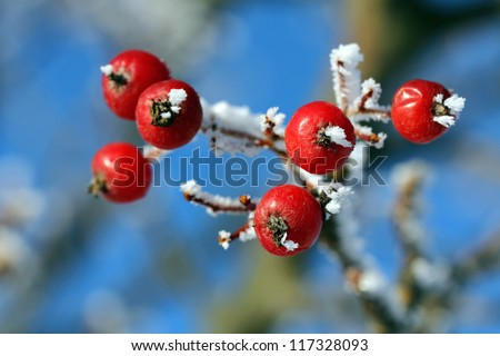 Red rowan berries or ash berries in winter frost. - stock photo