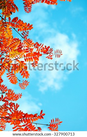 Red rowan tree leaves against bright blue sky inder sunlight - autumn natural background  - stock photo