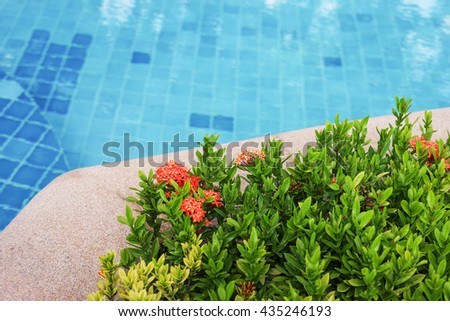 red rubiaceae flower near swimming pool - stock photo