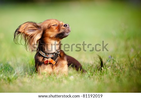 Red russian toy dog enjoying the sun - stock photo