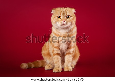 Red scottish fold on red background - stock photo