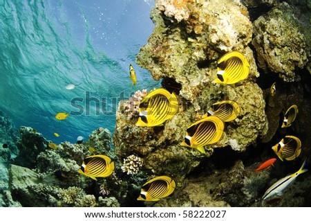 red sea angelfish, butterflyfish - stock photo