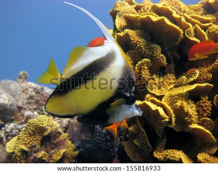 Red Sea Bannerfish and salad coral - stock photo