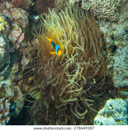 Red sea coral reef - Clownfish hiding in the tentacles of its host anemone - stock photo