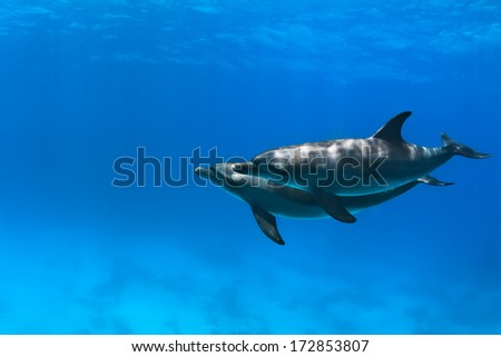 Red sea diving with wild dolphins underwater in deep blue - stock photo