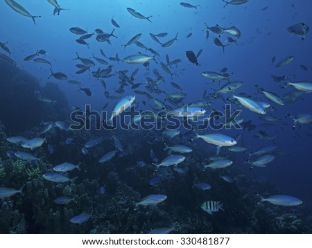 Red sea fusilier, Rotmeer-F�¼silier (Caesio suevica) - stock photo