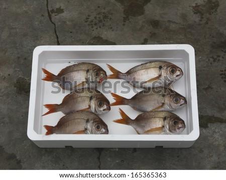 Red Seabream in white box - stock photo