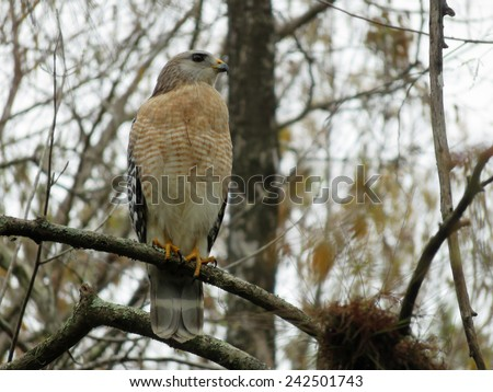 Red Shouldered Hawk at Six Mile Cypress Slough Preserve Florida - stock photo