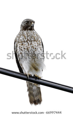 Red Shouldered Hawk -buteo lineatus- isolated on white - stock photo