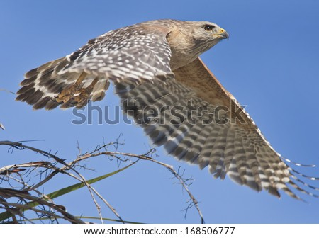 Red-shouldered Hawk just took off. Latin name-Buteo lineatus. - stock photo