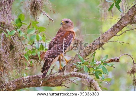 Red Shouldered Hawk watches overs the swamp like a Prince surveying his kingdom. - stock photo