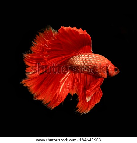 red siamese fighting fish, betta fish isolated on black - stock photo
