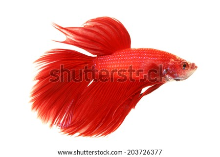 Red siamese fighting fish, betta splendens isolated on a white background - stock photo