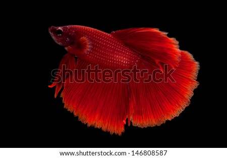 red siamese fighting fish on black background - stock photo