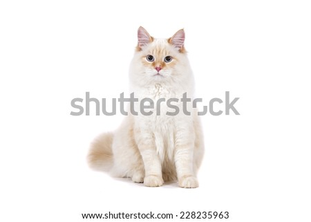 Red Siberian Neva Masquerade cat on white background. Cat sitting. - stock photo