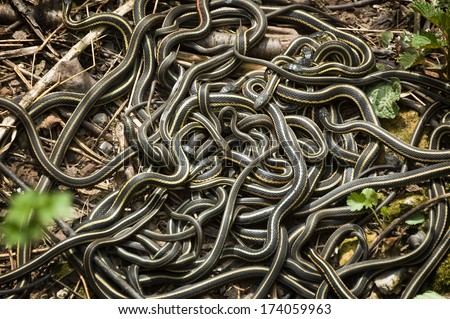 Red-Sided Garter Snake Mating Ball - Narcisse, Manitoba:  Large numbers of male Red-sided Garter Snakes gather around one female. - stock photo