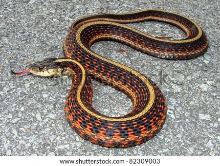 Red-sided Garter Snake, Thamnophis sirtalis parietalis - stock photo