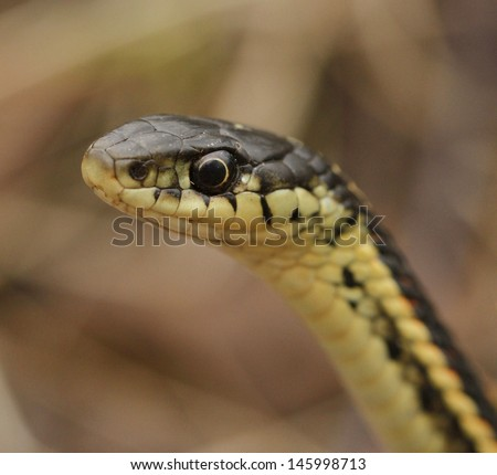 Red sided garter snake Thamnophis sirtalis parietalis in Narcisse, Manitoba, Canada. - stock photo