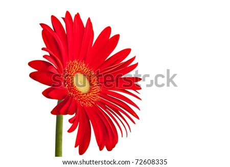 red single gerbera daisy flower isolated on white background - stock photo