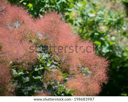Red Smoke tree in forest - stock photo